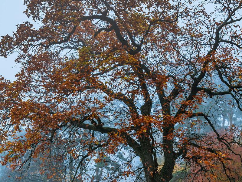 лес, дуб, туман, утро Полыхнувшая кронаphoto preview