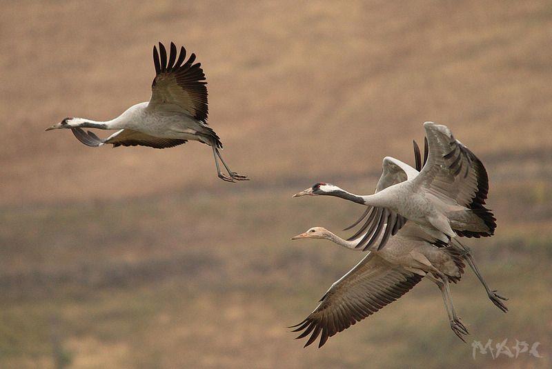 животные птицы серые журавли осень башкирия Серые журавлиphoto preview