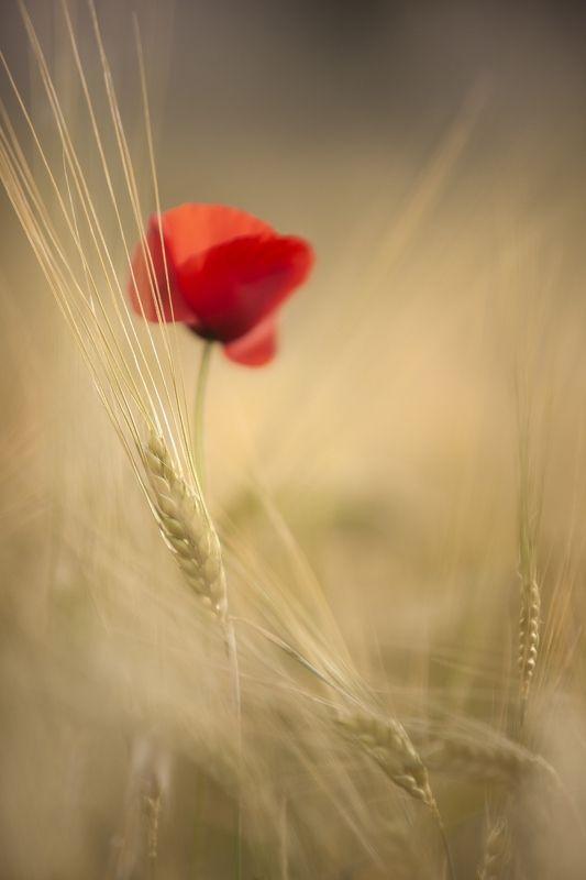 summer, poppies, wheat, nature, macro, field, macro, yellow, red Summerphoto preview