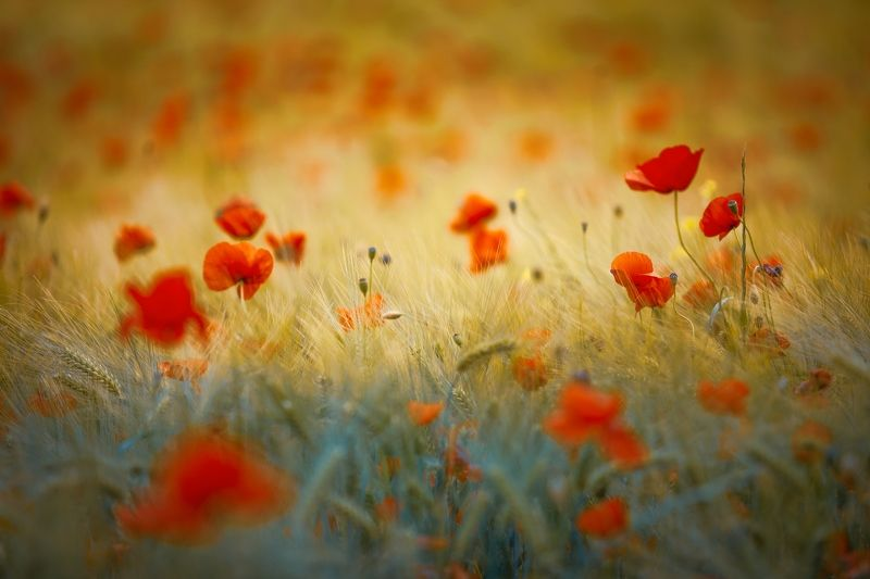 poppies, red, wheat, yellow, field, spring, summer, nature, sunset Poppiesphoto preview