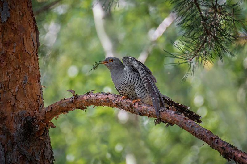 птица, кукушка, самец, добыча, Кукушка..photo preview