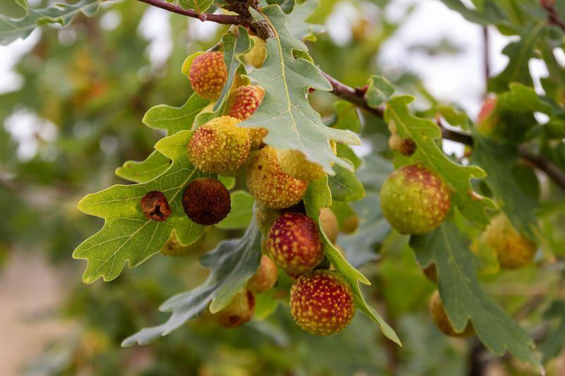 Листья дубочкаphoto preview