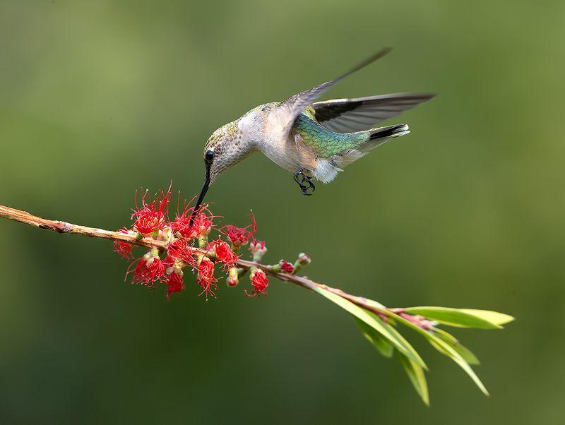 колибри,ruby-throated hummingbird, hummingbird Female. Ruby-throated Hummingbird -Рубиновогорлый колибри. самкаphoto preview