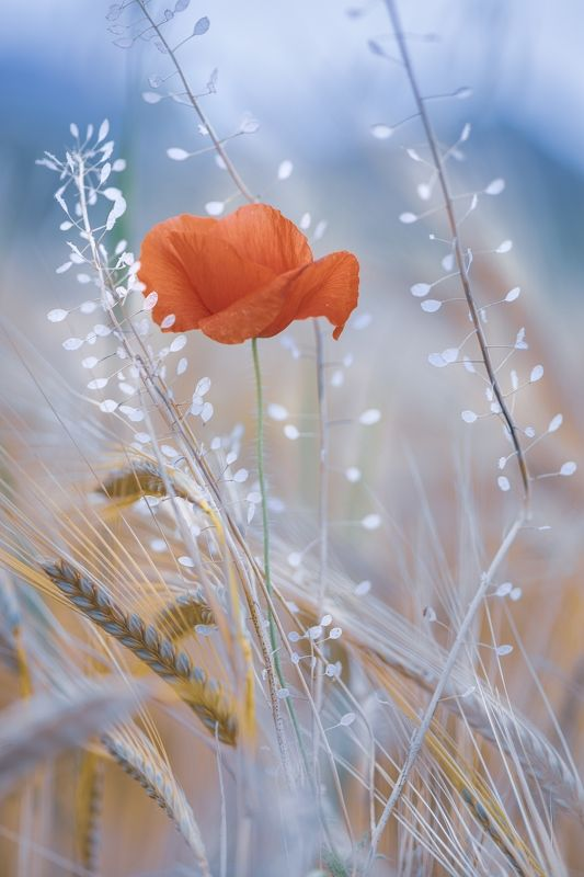 spring. poppies, wheat, nature, macro, flowers, plants, red, blue, white Taste of springphoto preview