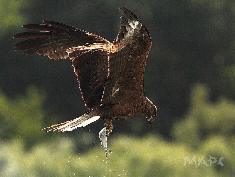 животные птицы коршун башкирия Коршун с добычей.photo preview