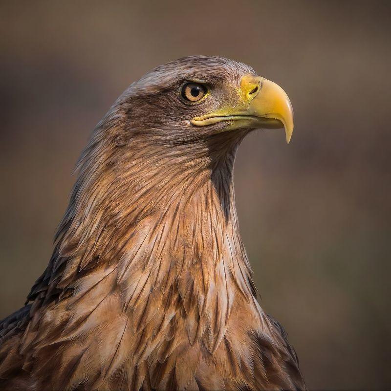 Портрет самки белохвостого орланаphoto preview