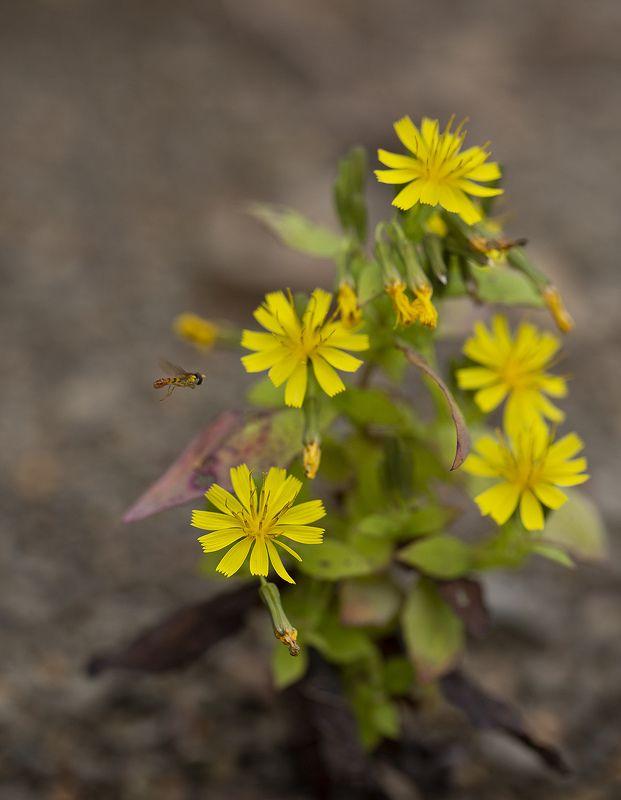 муха журчалка сентябрь цветы Осенняяphoto preview