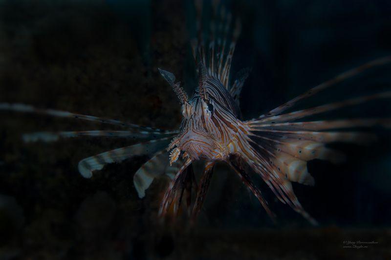 подводное фото подводный мир хургада египет жогло zhoglo красное море Подводный павлинphoto preview