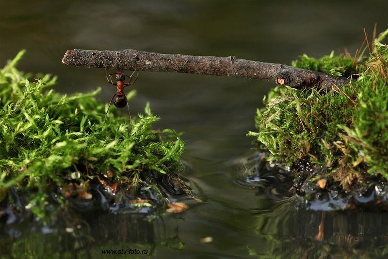 макро, природа, лес, муравей, озеро, мох, палка, полено, дубина, силач Богатырь!photo preview