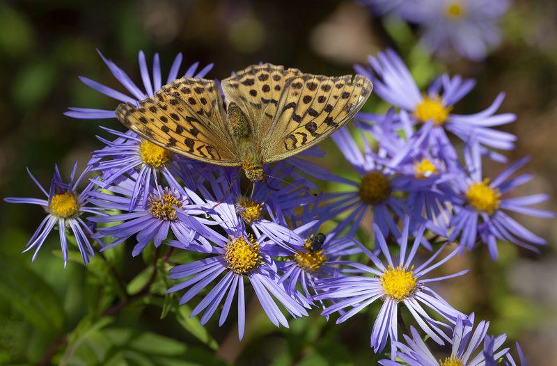 бабочка перламутровка астра  остров русский владивосток сентябрь Перламутровкаphoto preview