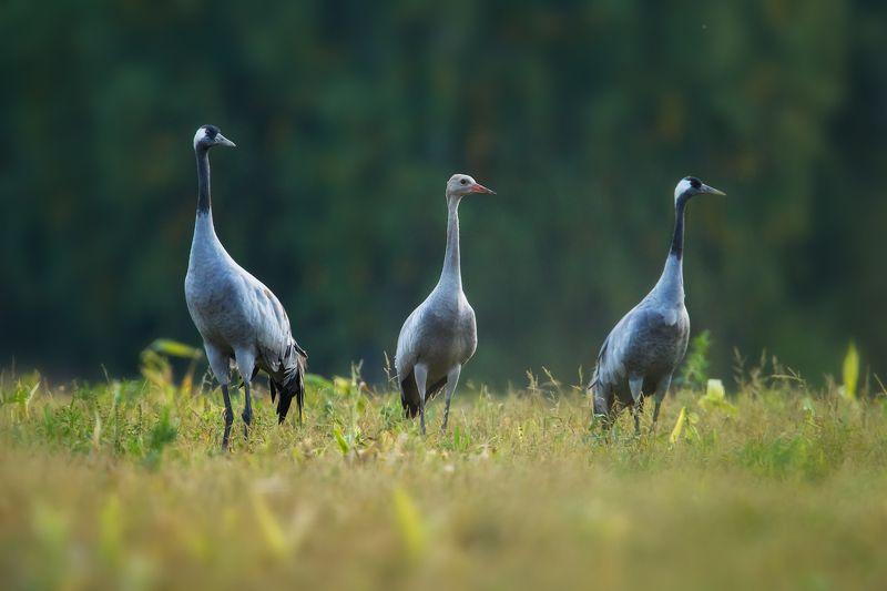 журавли, природа, птицы Журавлиphoto preview
