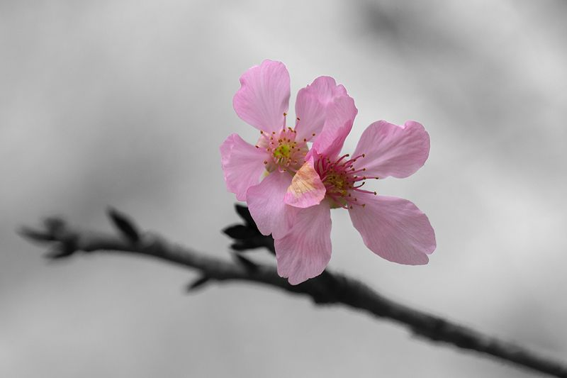 #flowers Cherry Blossomsphoto preview