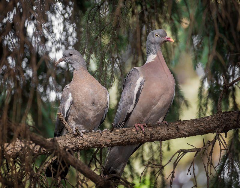 птица, вяхирь, слёток, самка, слёток вяхиря с мамкой ..photo preview