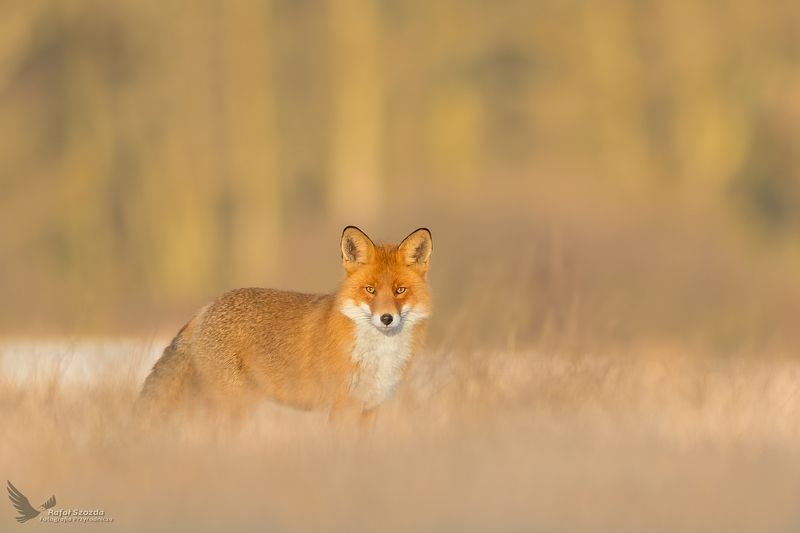 red fox, nature, animals, wildlife, colors, autumn, meadow, sunlight, nikon, poland Lis, Red Fox (Vulpes vulpes) ...photo preview