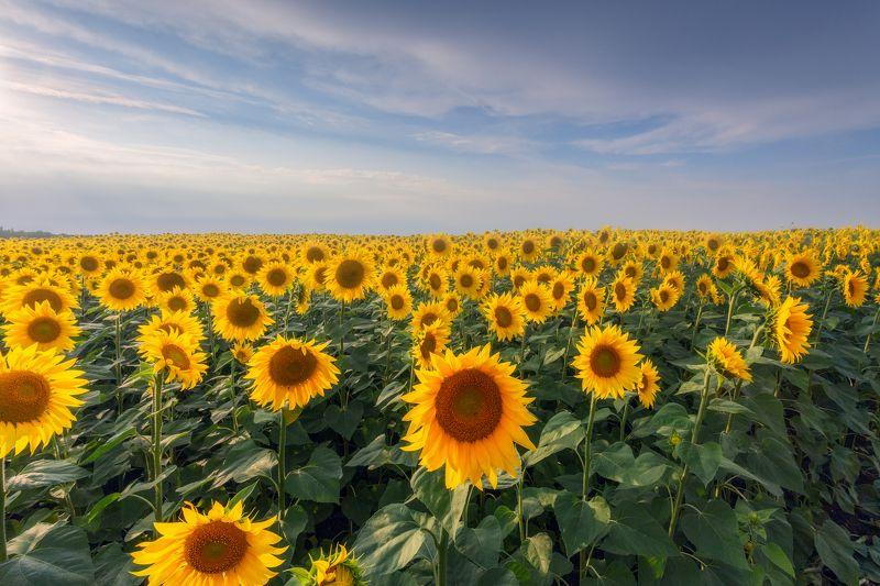 Тульская область, природа, пейзаж, подсолнух, Россия Напоминание о лете и солнцеphoto preview