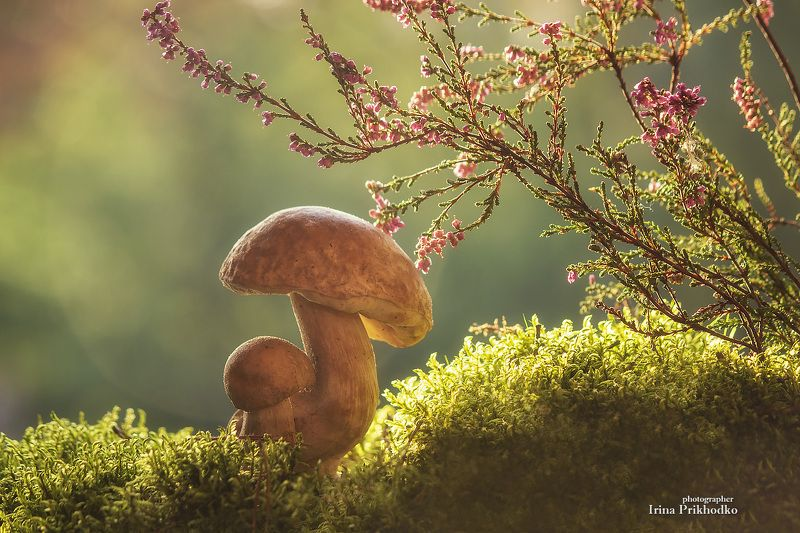 натюрморт, постановочное, фото, грибы, осень, вереск Сказки про грибыphoto preview