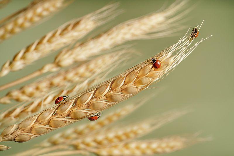 божьи коровки, жуки, насекомые, макро, колосья, пшеница Божьи коровкиphoto preview