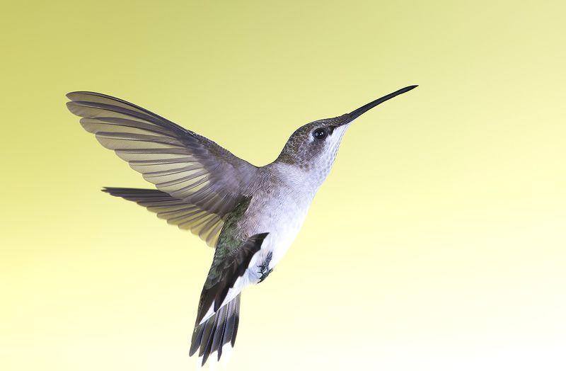 колибри,ruby-throated hummingbird, hummingbird, весна Female Ruby-throated Hummingbird -Самка. Рубиновогорлый колибриphoto preview