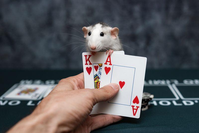 крыса, крыса дамбо, животные, грызуны Что там у тебя?photo preview