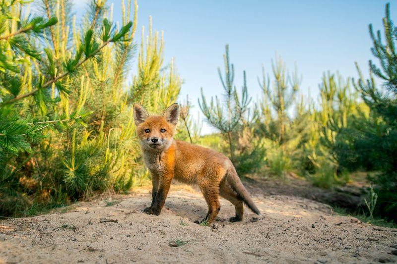 red fox, wildlife, cute, рыжая лиса, дикая природа, милый That lookphoto preview