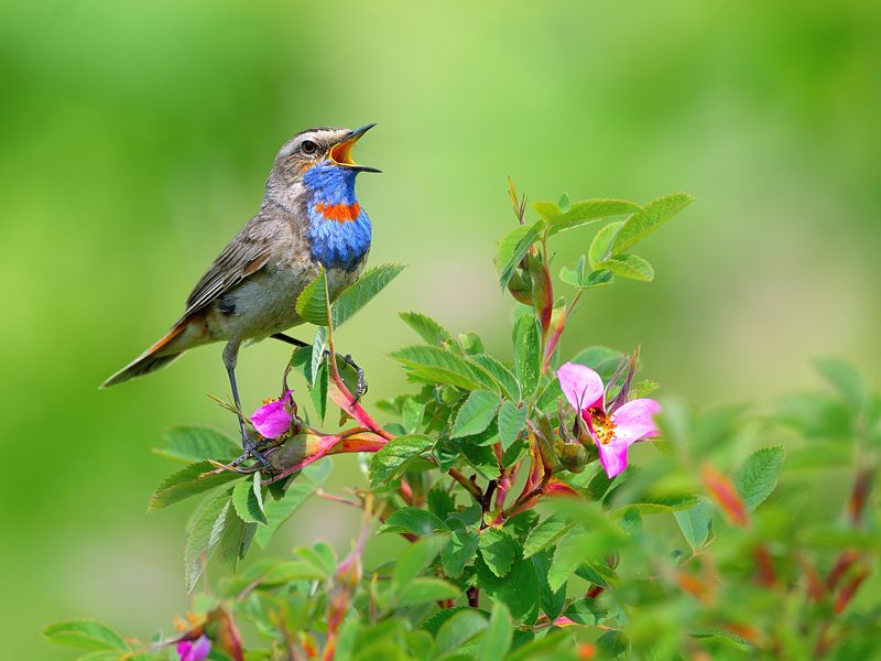 природа, фотоохота, варакушка, птицы, животные, цветы, лето Поющий в шиповникеphoto preview