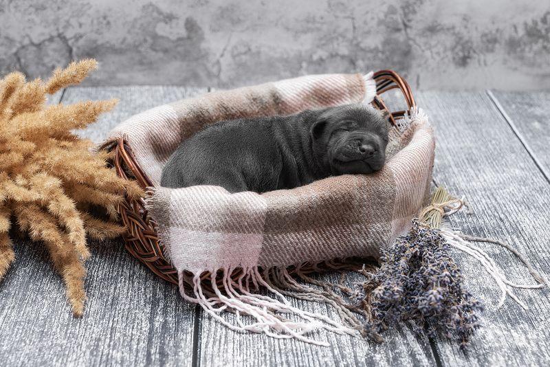 собака, животное, dog, тайский риджбек, щенок Сладкий сонphoto preview