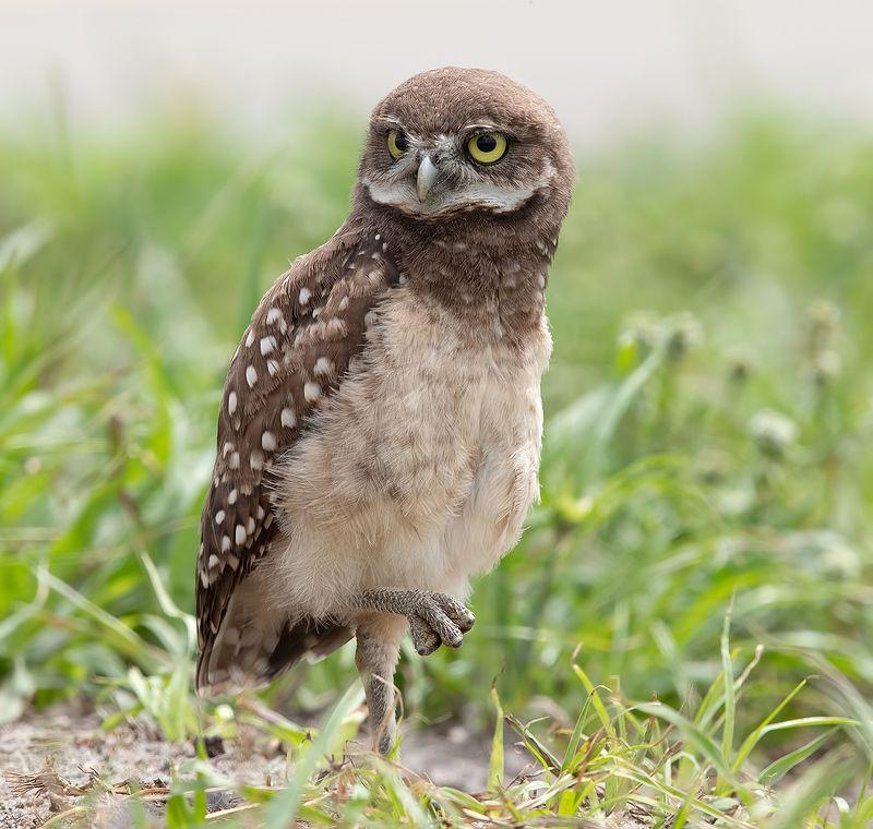 кроличий сыч, florida,burrowing owl, owl, флорида,сыч Burrowing Owlet - Кроличий сычphoto preview