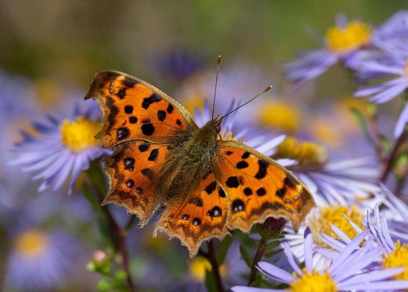 бабочка углокрыльница с-золотое  астра  остров русский владивосток сентябрь Углокрыльница 2photo preview