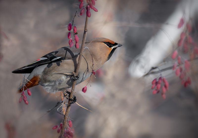 птица, свиристель,  барбарис, зима, февраль, свиристель на барбарисе..photo preview