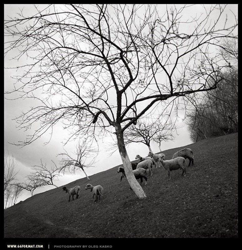 travel, hasselblad, bw, чб, 6x6, mformat Овцы. Закарпатье.photo preview