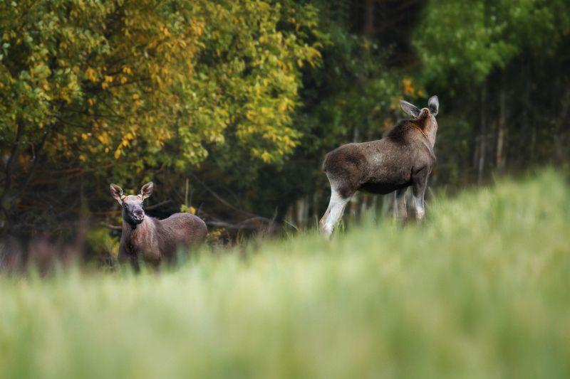 лоси, лось, природа удмуртии Лосиphoto preview