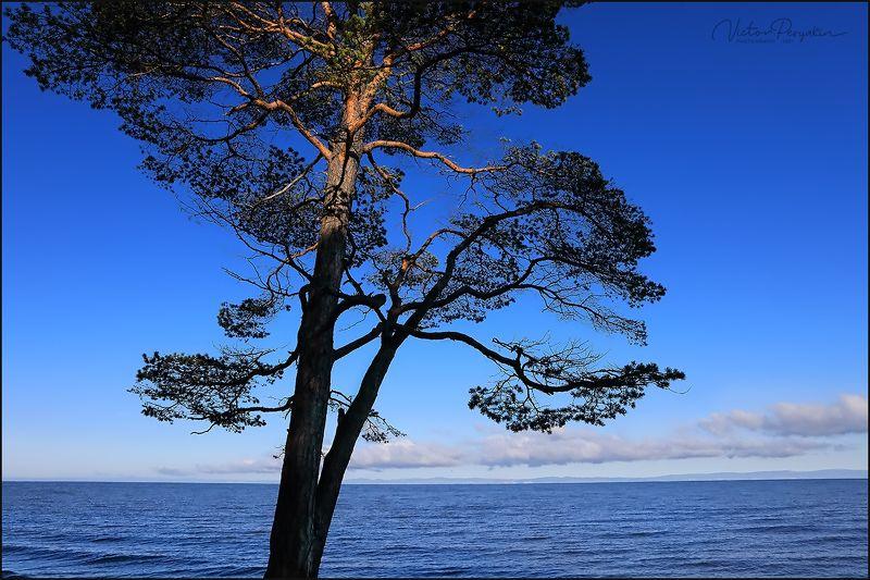 Байкал. Сосна подсвеченная солнцем.photo preview