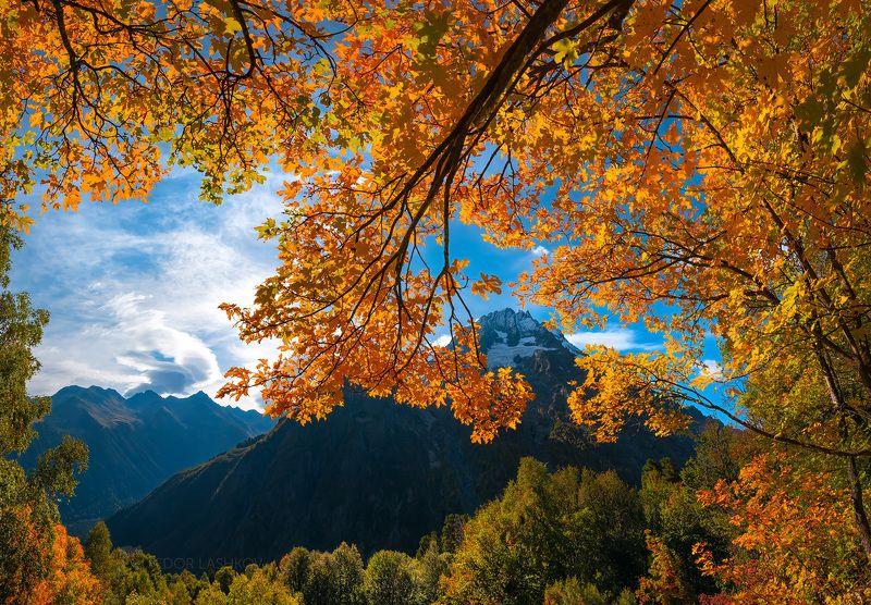 кавказ, кавказские горы, карачаево-черкесия, горы, гора, осень, клён, дерево, золотой, жёлтый, осенний, ветви, листья, вершина, пшиш, архыз, небо, синий, дневное, Японский мотив осениphoto preview