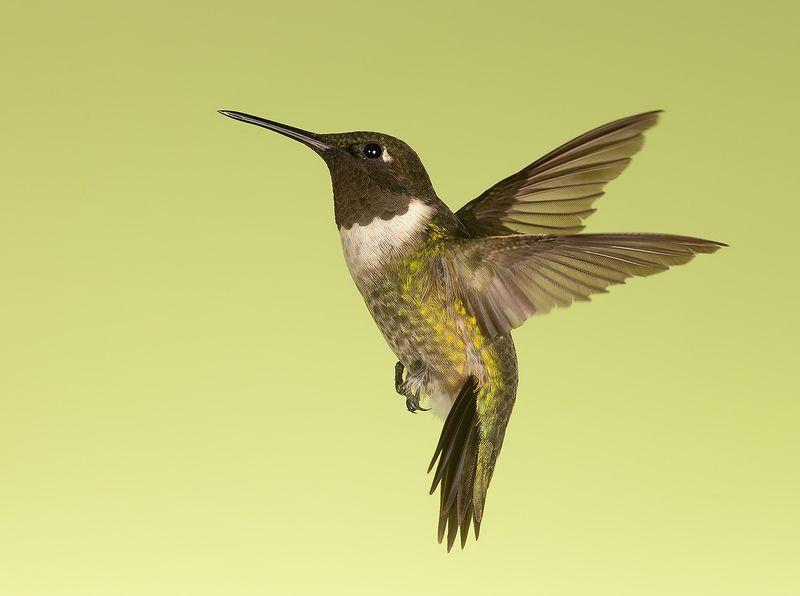 колибри,ruby-throated hummingbird, hummingbird Ruby-throated Hummingbird male -Рубиновогорлый Колибриphoto preview