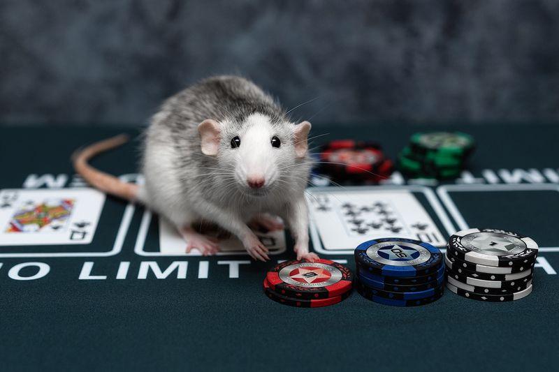 крыса, крыса дамбо, животные, грызуны Партейку?photo preview