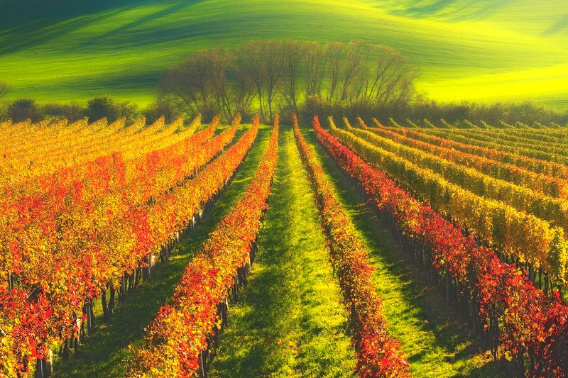 landscape,autumn,moravia,canon Autumn In The Vineyard... фото превью