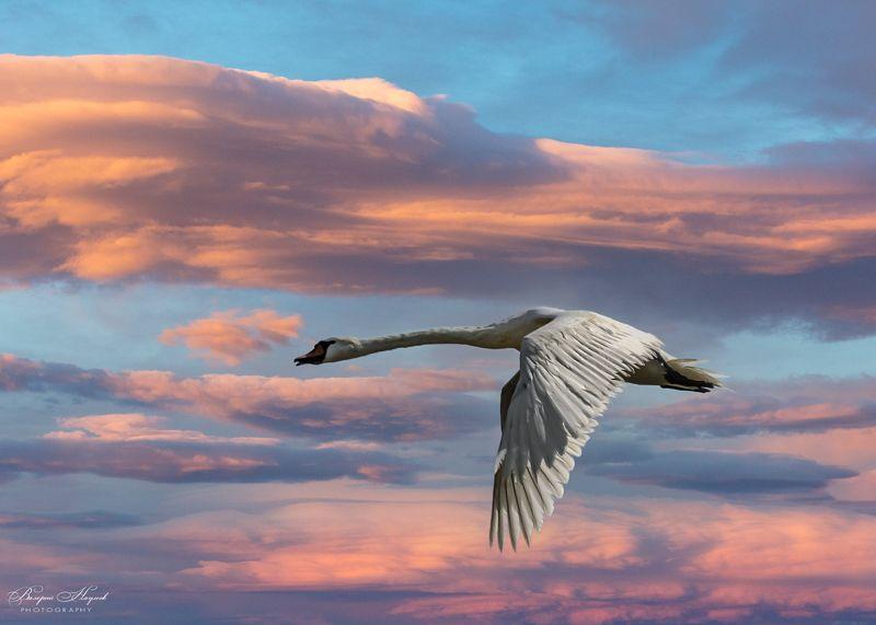 лебедь, небо, облака. закат На закате белый лебедь пролетел...photo preview