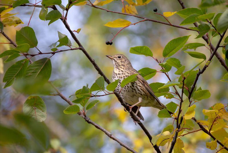 птица, дрозд, осень, черёмуха, Дрозд на черёмухе..photo preview