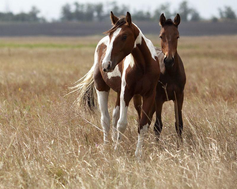 лошади, рыжие,кони, мустанги,поле,природа, красота, horse, animal, beautiful, field, nature Рыжие красавцыphoto preview