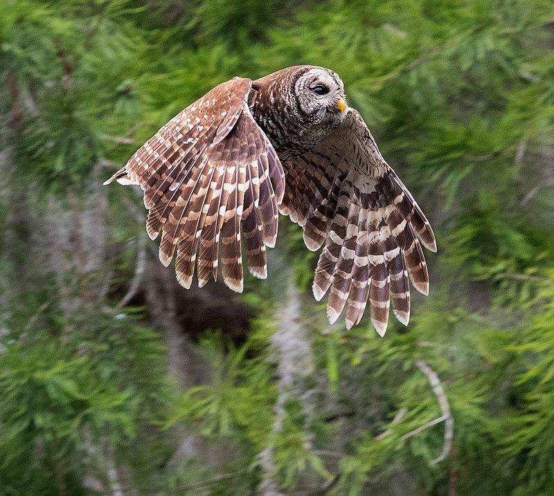 пёстрая неясыть, cова, owl, florida,флорида, хищные птицы, barred owl Barred Owl - Пёстрая неясытьphoto preview