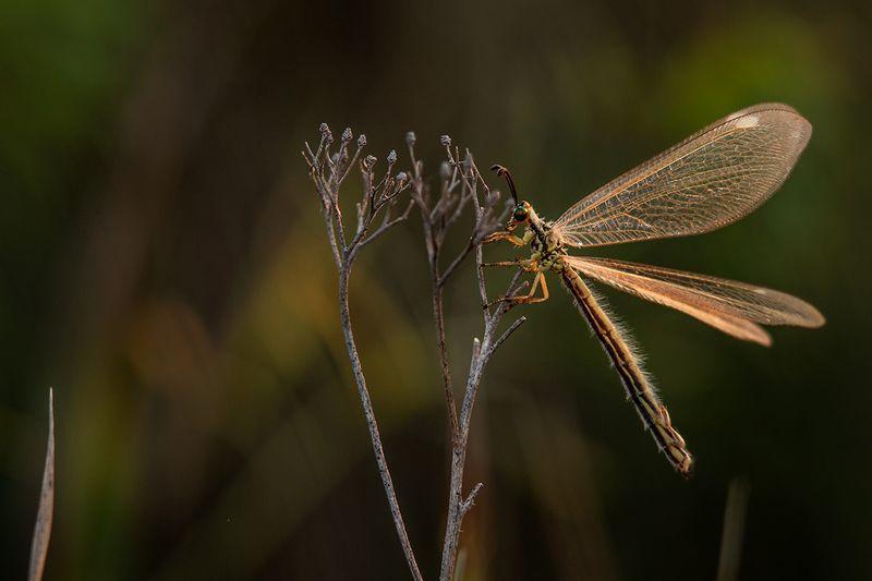 макро, насекомые, муравьиный лев *** фото превью