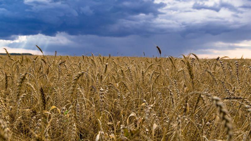 поле, тучи, гроза, природа, пейзаж, колосья Тучаphoto preview