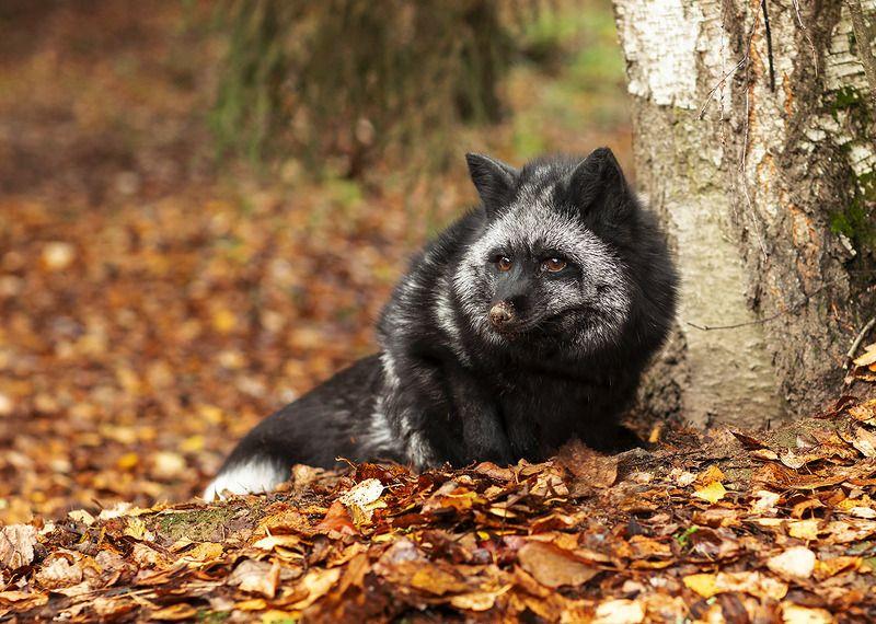 лиса,чернобурая,красотка, охота,осень,,красота,природа, fox, black, hunting,beautiful, autumn,nature Лисья охотаphoto preview