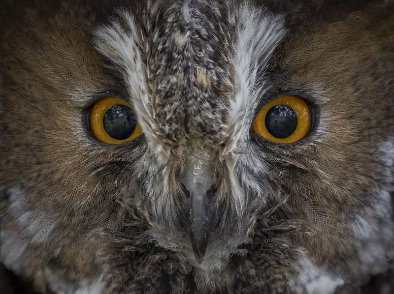 птица, ушастая сова, зеркала, глаза, отражение, ЗЕРКАЛА..photo preview
