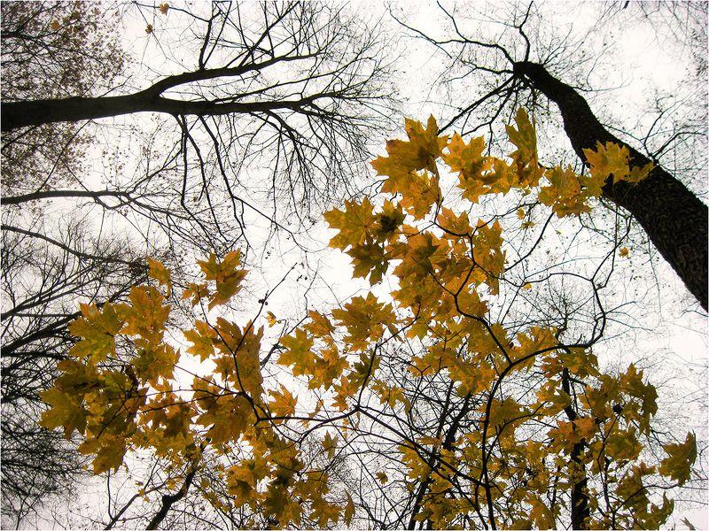 осень, клен, листья Улетели листья...photo preview