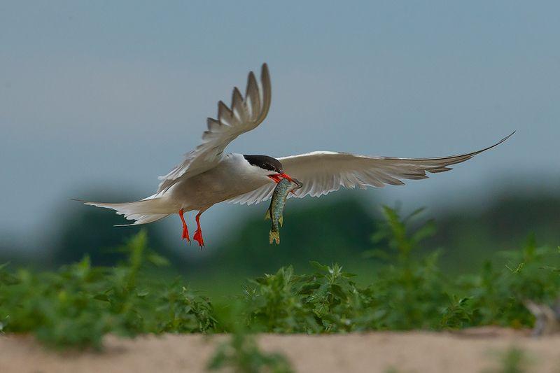 bird, wild,animals ,poland Речная крачкаphoto preview