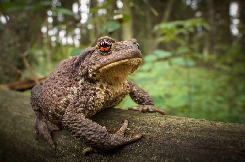 серая жаба, bufo bufo, амфибия, земноводное, портрет жабы, крупный план, глаз жабы, гетерохромия, еловый лес, август, лето 2021 Лесная царицаphoto preview