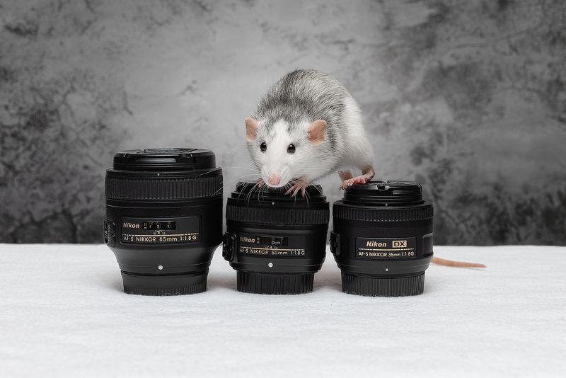 крыса, крыса дамбо, животные, грызуны Эй, фотограф, объективы нужны? Дёшево продам!photo preview