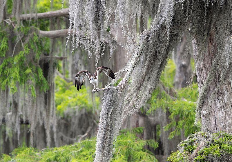 cкопа, osprey, florida, хищные птицы Osprey - Скопа в сказочном интерьереphoto preview