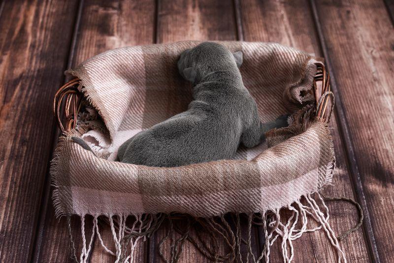 собака, животное, dog, тайский риджбек, щенок Тайский риджбек: началоphoto preview